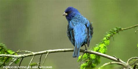 the indigo bunting new in the shop 2013 illustrated calendar four backyard birds to watch for this summer 187 watching