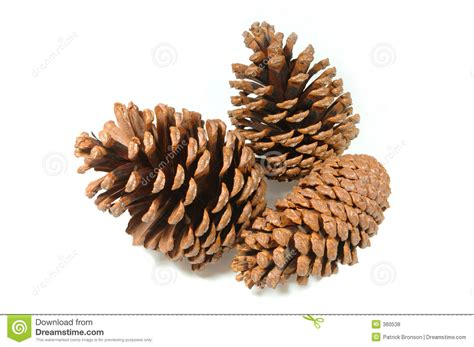 with pine cones 7 8 pine cone drawings macarthur