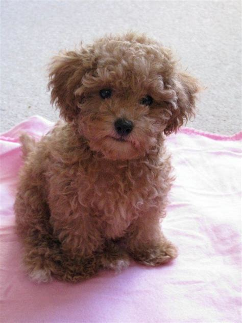 shih tzu for sale in mcallen tx chocolate brown maltipoo puppies breeds picture
