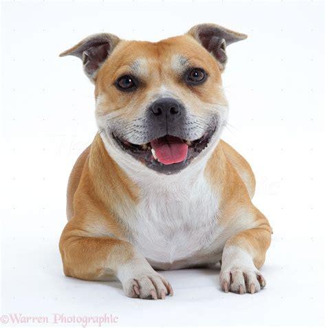 Dog: Staffordshire Bull Terrier photo WP09271