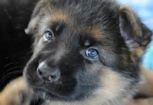 german shepherd with blue about animals