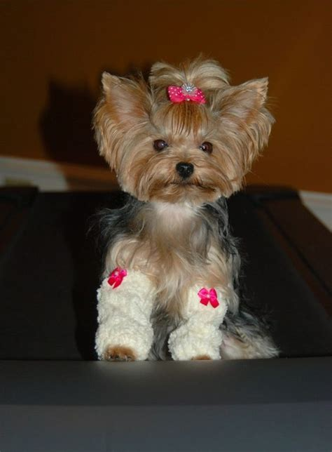 yorkie with legs pets puppys and on