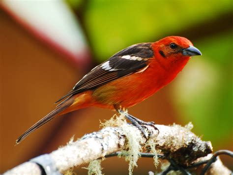 colored tanager