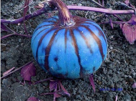 pcs giant pumpkin seedsbig squash zucchini seedsbonsai