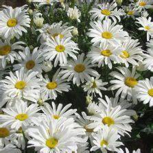 Biji Benih Cosmos Bright Lights Mix bibit bunga sunflower hopi