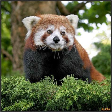 Boneka Panda Panda Hitam Putih Gigit Bambu hewan panda merah di pegunungan himalaya timur juragan cipir