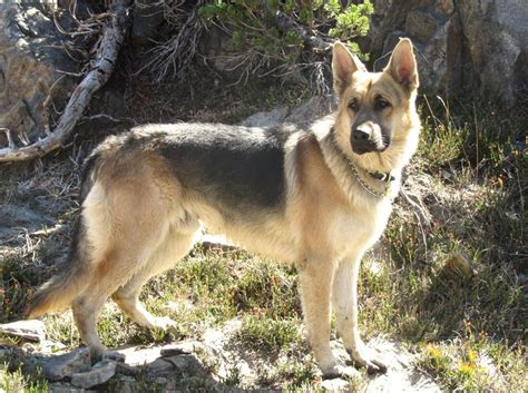 old fashioned dog grooming pictures for sale image gallery old style german shepherds