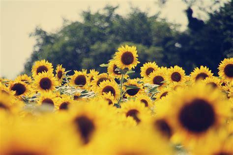 sunflower wallpapers uskycom