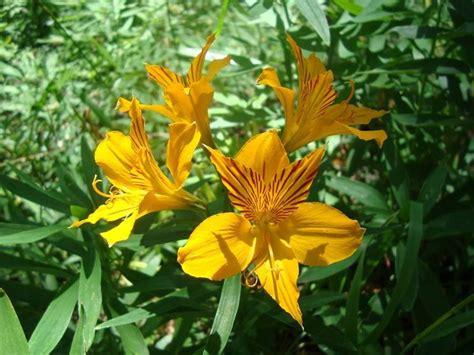 bulbi da fiore perenni alstroemeria piante perenni alstroemeria pianta