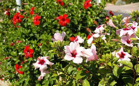 fiori hibiscus ibisco hibiscus piante da giardino hibiscus arbusti