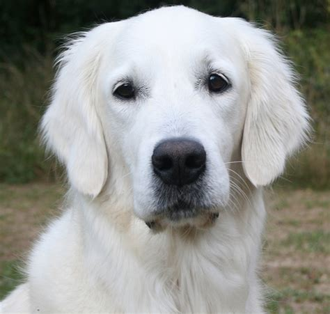 white golden retriever white golden retrievers precio