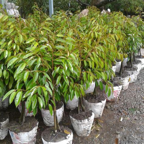 Bibit Buah Duren manfaat dalam buah durian josephhuffhannon