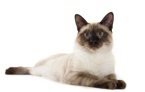 Lu 7 Warna Model Kucing Lucu 37 jenis kucing ras yang paling lucu lengkap okdogi
