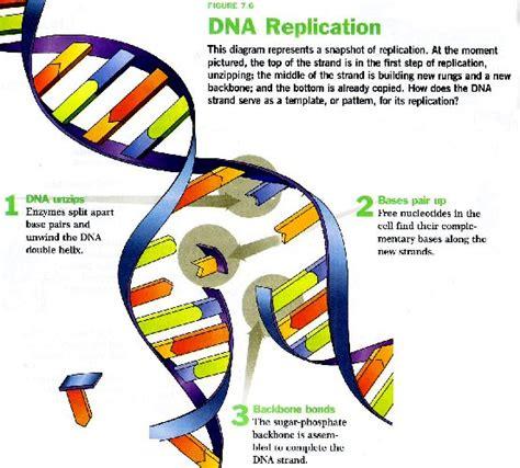 dna replication diagram pics for gt dna replication diagram