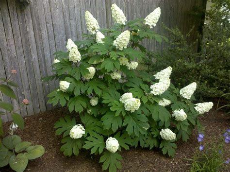 1 oakleaf hydrangea shrub ebay