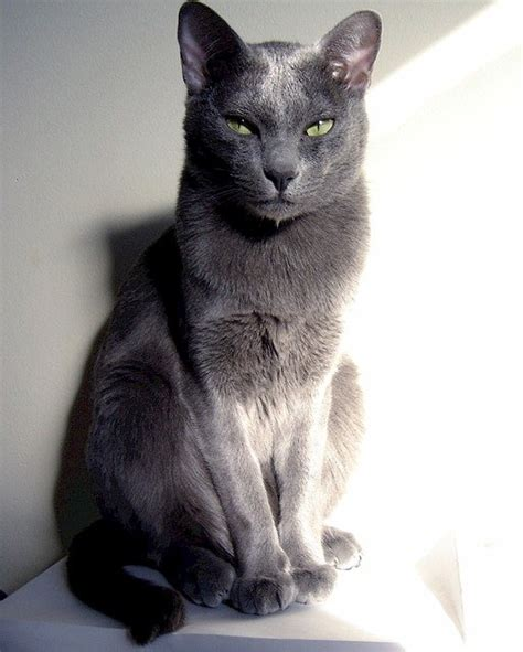 breeds and personalities cat breeds the korat cat characteristics and personality dogalize