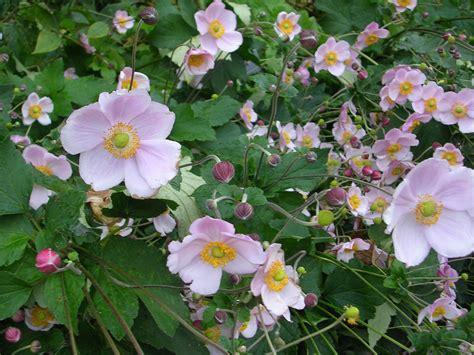 how to grow japanese anemones grow anemones