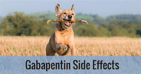 gabapentin dosage for dogs gabapentin side effects entirelypets