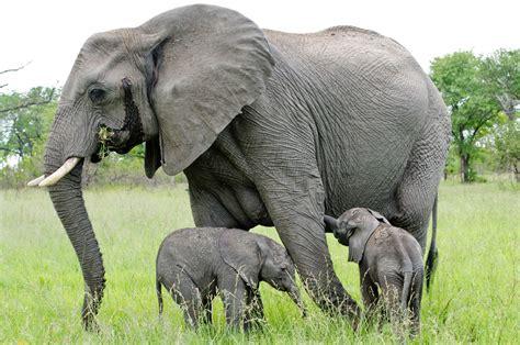 le elefant curiozitati despre elefant anideșcoală ro