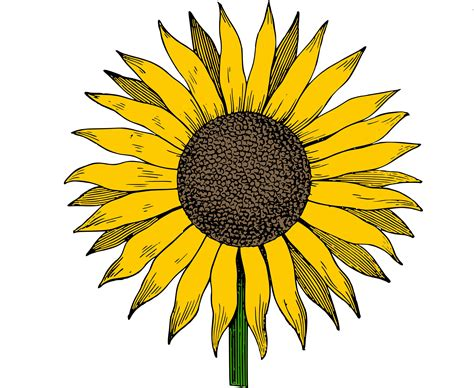 sunflower clipart sunflower clip images black and white