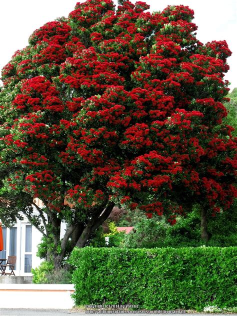 photo of the entire plant of new zealand christmas tree