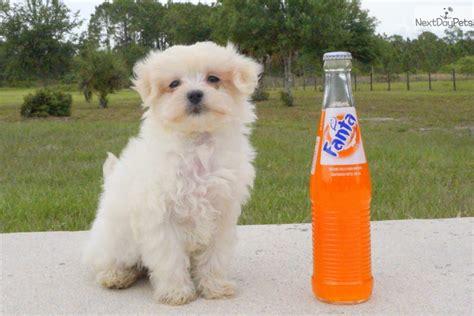 havanese rescue florida havanese puppy for sale near sarasota bradenton florida