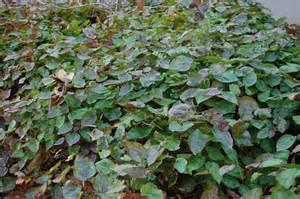 Small Flowering Shrubs For Partial Shade - epimedium x versicolor sulphureum landscape architect s pages
