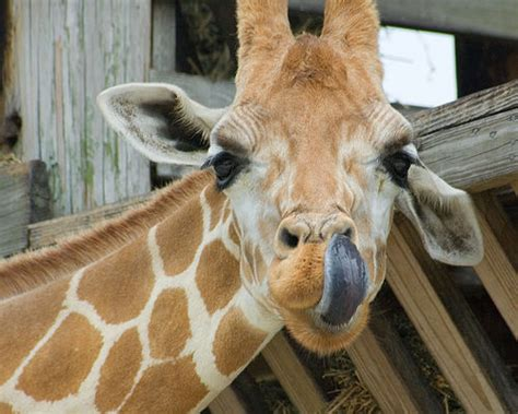 what color is a giraffe s tongue a about a animal a giraffe s tongue