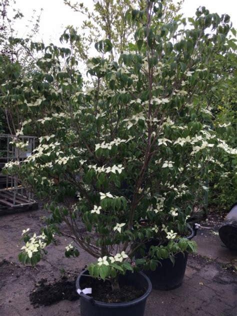 sierkers met witte bloemen finest japanse kornoelje cornus kousa roberts select with