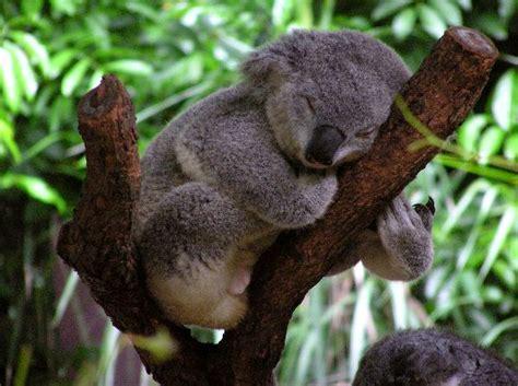 imagenes animadas koala sleeping koala koala facts and information