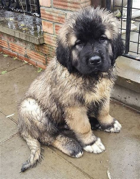 caucasian mountain for sale caucasian mountain puppies for sale huntingdon cambridgeshire pets4homes