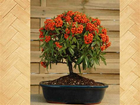 pyracantha in vaso piracanta bonsai pyracantha coccinea p angustifolia
