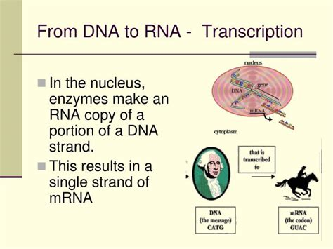 ppt chapter 12 dna the molecule of heredity powerpoint