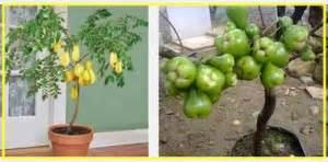Pupuk Agar Bunga Lebat cara cepat membuat tanaman pot berbuah lebat tanaman
