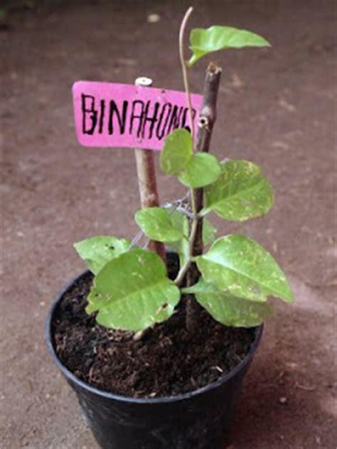 khasiat tanaman nusantara khasiat tanaman binahong