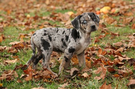 catahoula cur puppies louisiana catahoula leopard info temperament puppies pictures