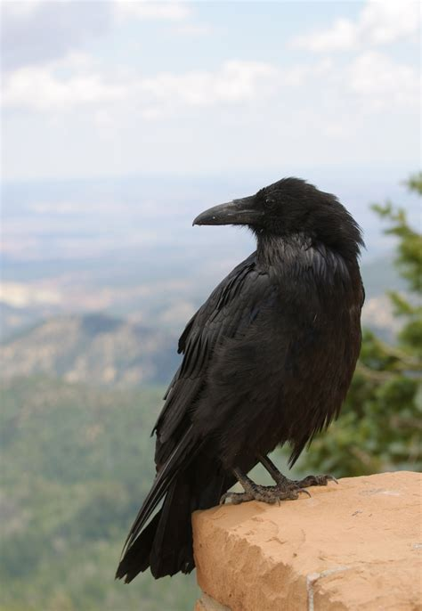 backyard birds matthews nc common raven backyard birds the bird food store