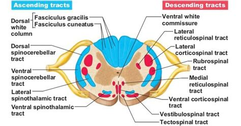 Labeled Spinal Cord Cross Section by Corticospinal Tract Spinal Cord Search Pa