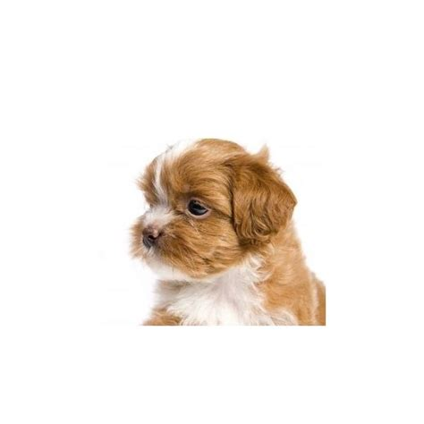 allergic to havanese what are the best dogs for with allergies or asthma