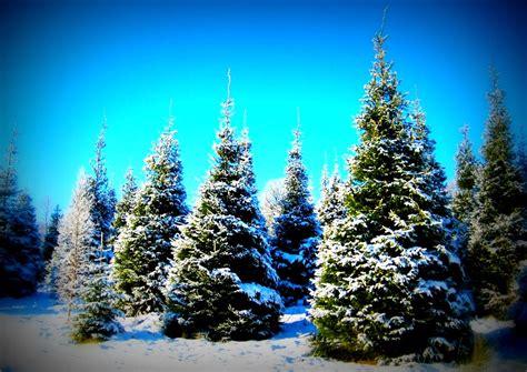 christmas tree prices 2017