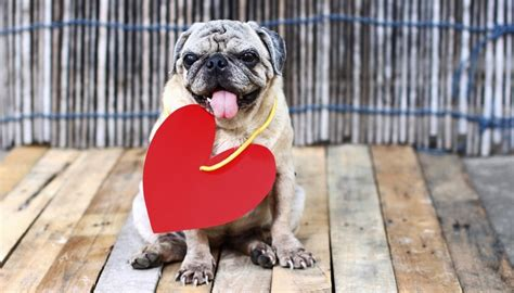pug lifespan 15 breeds that a lifespan and live a