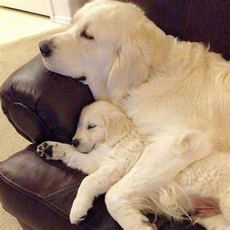 puppies golden retrievers 1486 best images about golden retrievers on
