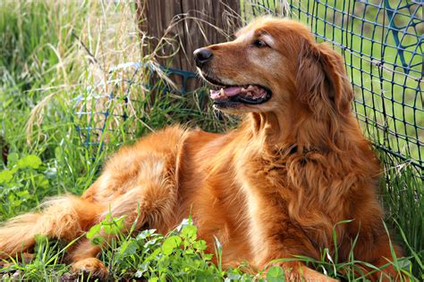 golden retriever original breed free images outdoor play animal canine pet golden retriever happy
