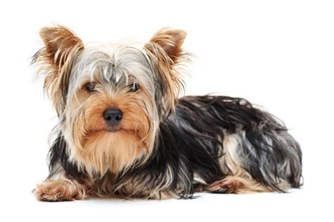 yorkie pancreatitis a pet insurance review goober the terrier healthy paws pet insurance