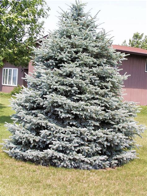 colorado blue spruce trees buy online at nature hills isu forestry extension tree identification colorado