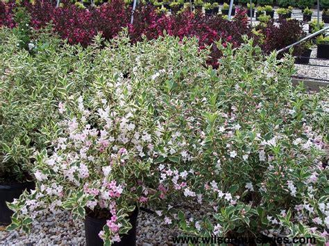 variegated shrub with pink flowers variegated weigela wilson nurseries