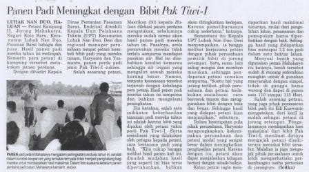 Bibit Jagung Ketan panen padi meningkat dengan bibit pak tiwi 1 benih pertiwi