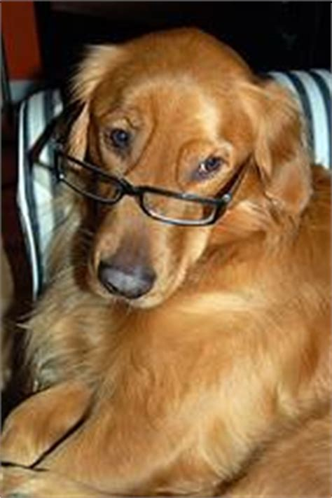 golden retriever wearing glasses cycle