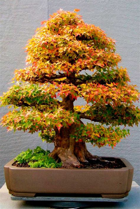 how do you bonsai christmas tree 5 arts similar to growing a bonsai tree you didn t about