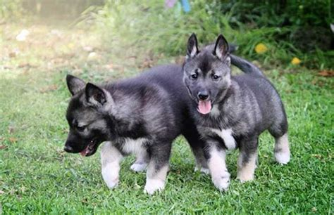 agouti husky puppy all about the wolf like agouti husky
